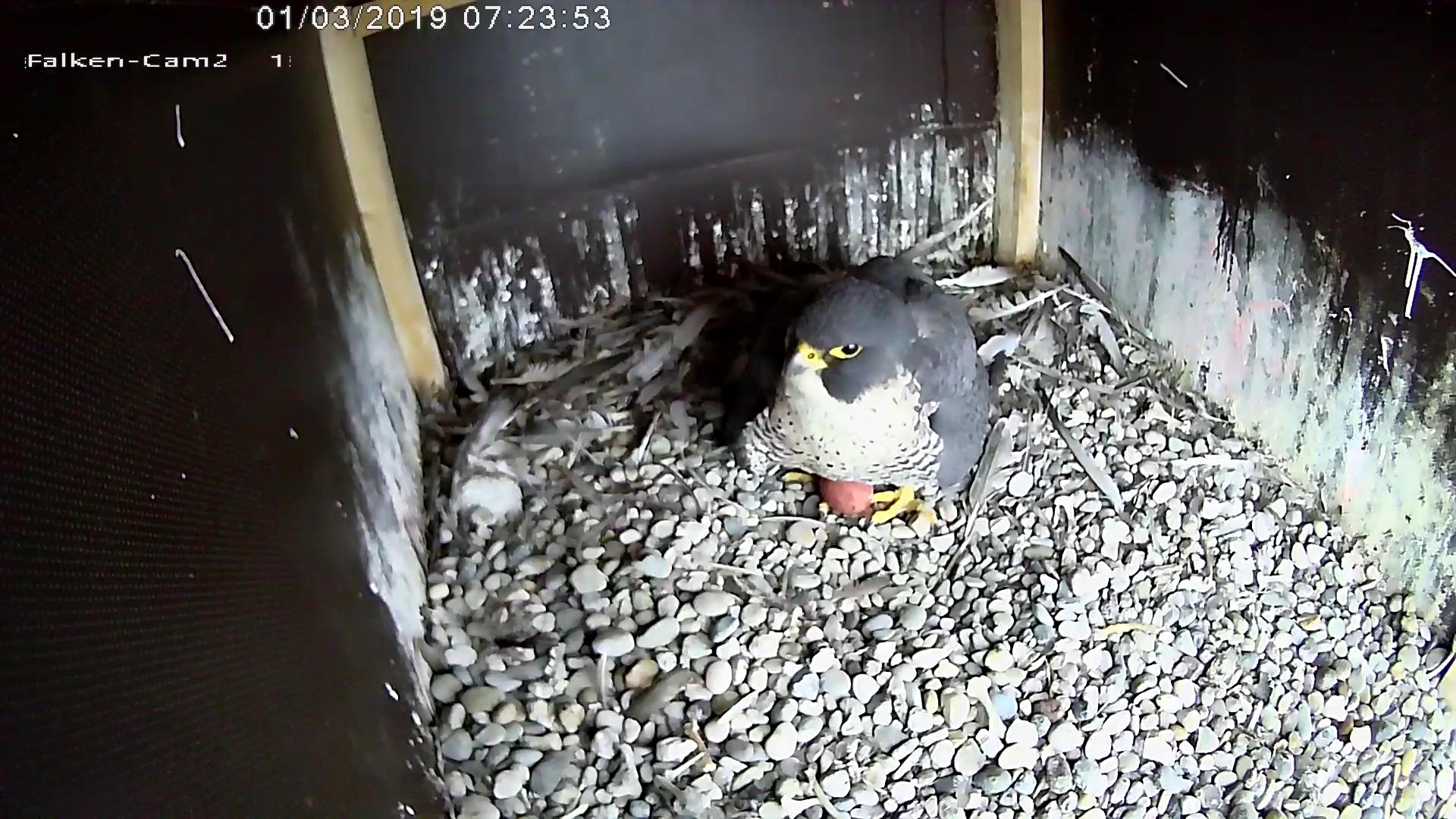 Erstes Ei Gelegt